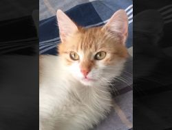 Felice - miniona dragalasa (adoptie pisicuta portocaliu cu